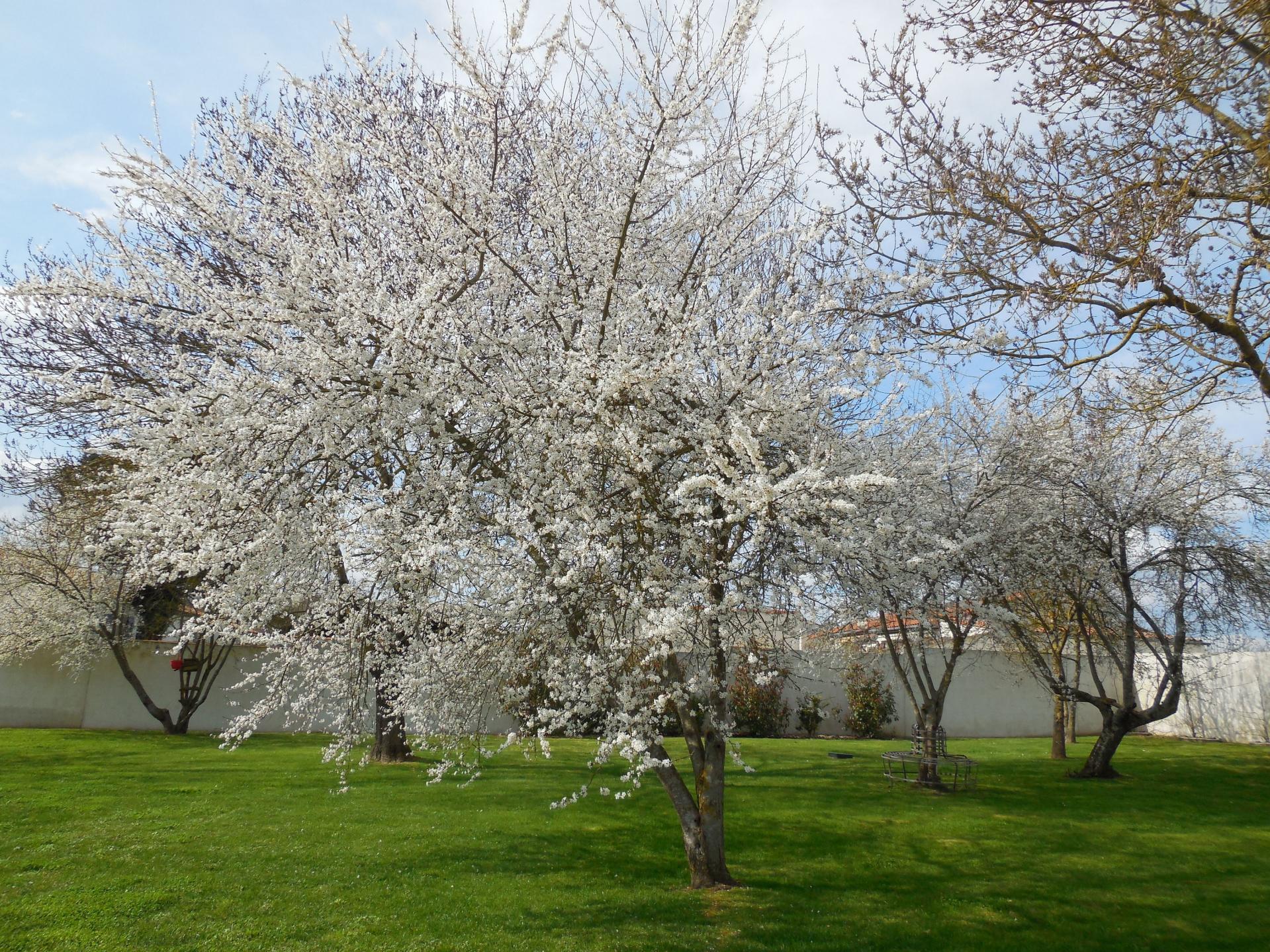les pruniers en fleurs